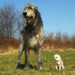 Obři mezi psími plemeny