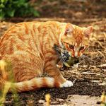 Jsou kočky v přírodě skutečnými predátory?