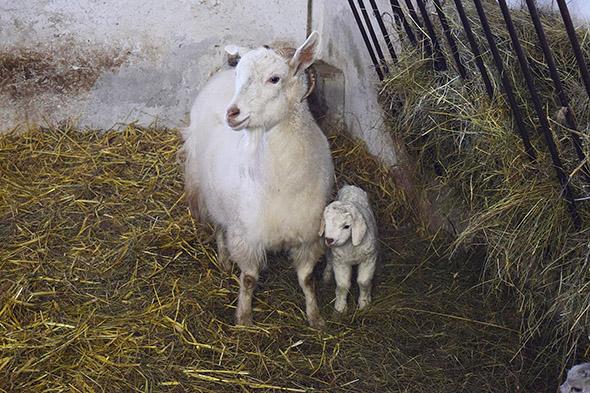 koza kašmírská zoo park vyškov