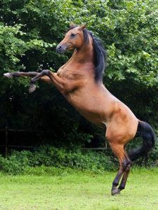 kůň stojící na zadních