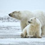 Nebezpečné látky v oceánu ohrožují lední medvědy