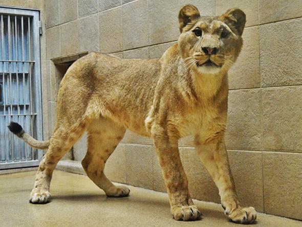 lev berberský zoo Liberec