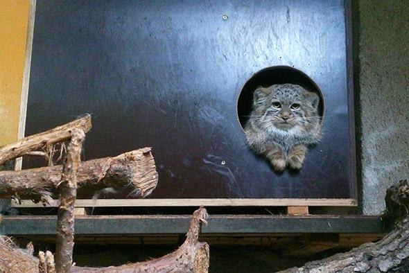 manul kotě