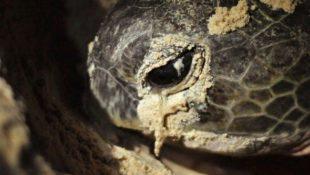 samice mořské želvy klade vejce