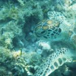 Čtyři české zoo se spojily k ochraně mořských želv