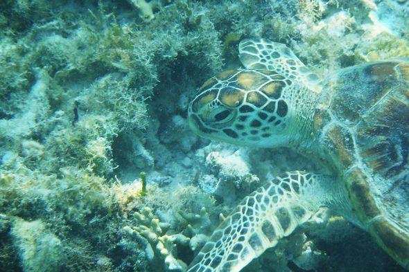 mořská želva v oceánu