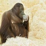 Ve Vídni očekávají narození orangutaního mláděte