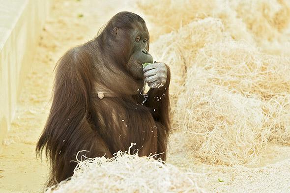 orangutaní samička Sol
