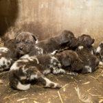 Štěňata psa hyenového se narodila ve Dvoře Králové