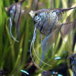 Akvarijní rybky pro začátečníky – 2. díl
