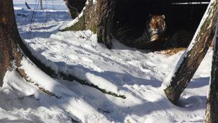 tygr ussurijský Rocky zoo Tábor