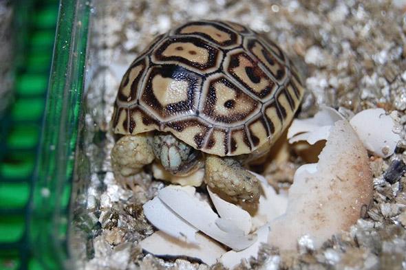 želva pardálí zoo plzeń