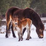 První letošní hříbata divokých koní se narodila na sněhu