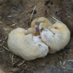 Nora rosomáků v brněnské zoo skrývala tři mláďata