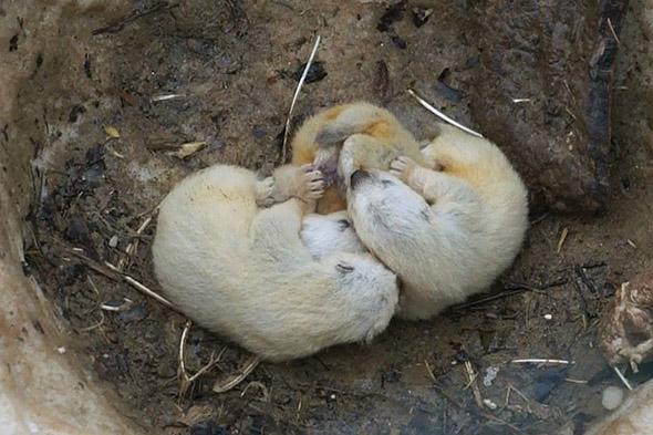 mláďata rosomáka zoo brno