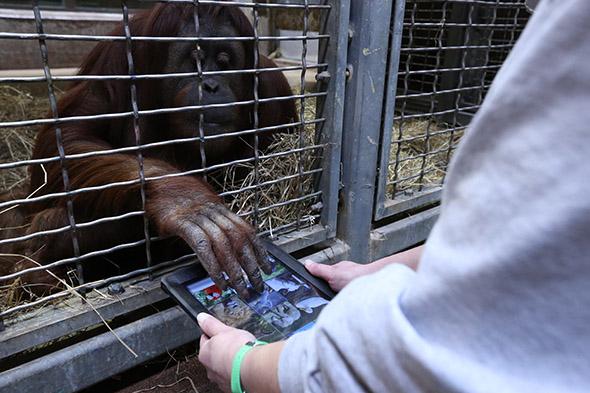 orangutaní seznamka