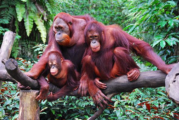 orangutaní rodinka v přírodě