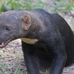 Zvířata, která neznáte: tayra