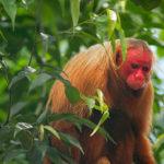 Zvířata, která neznáte: uakari