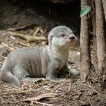 Novinky v zoo: sedm vydřích mláďat