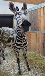 zebra Hartmannova