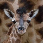 Novinky v zoo: jedna žirafa, dvě komby a tři ryby