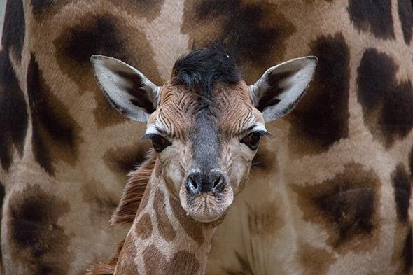 žirafa mládě Liberec