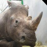 nosorožec Vince zastřelen pytláky v zoo