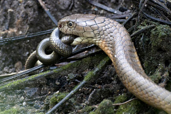 had ulovil jiného hada