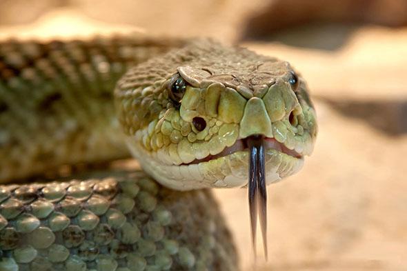 hadí jazyk