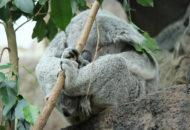 koala zoo Edinburgh
