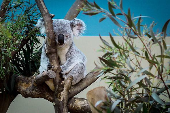 koala v zoo Budapešť