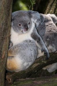 koala Německo zoo