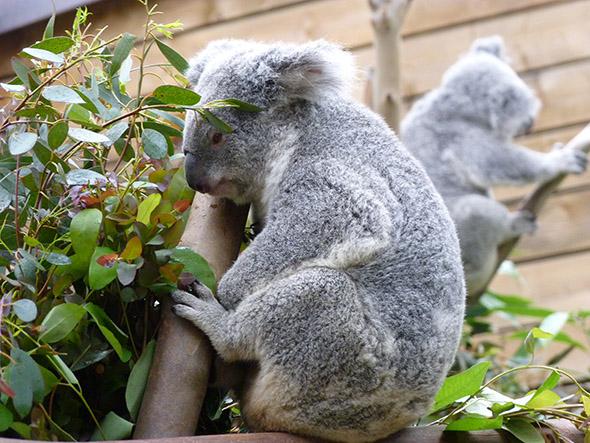 koala zoo Pairi Daiza