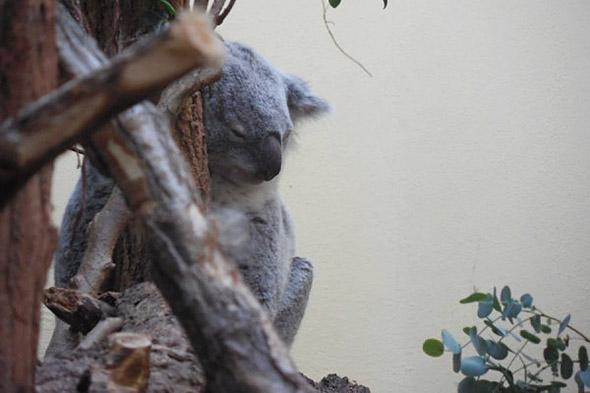 koala medvídkovitý zoo Vídeň