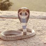 Jsou hadi imunní vůči svému jedu?