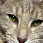 Jak podat kočce oční kapky?
