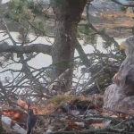 VIDEO: Konipas okrádá o peří orla mořského