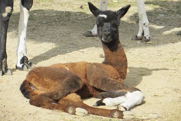 lama krotká zoo Hodonín