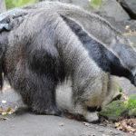 mravenečník velký zoo Děčín