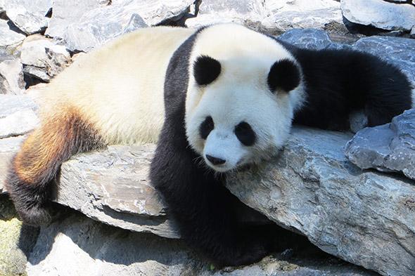 panda velká Belgie