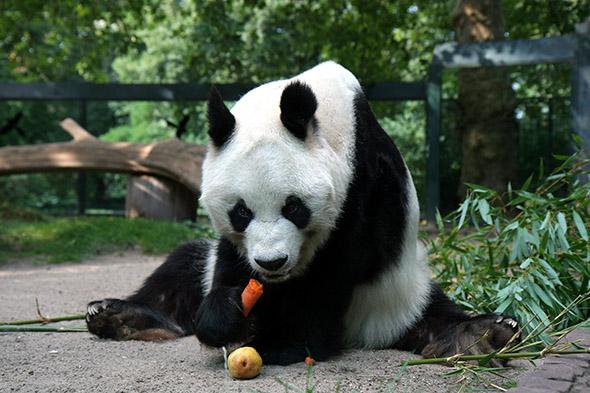 panda velká Berlín