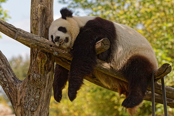 panda velká francie