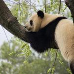 Za pandami velkými do evropských zoo