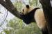 panda velká Madrid
