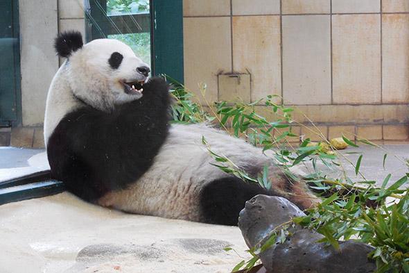 panda velká Vídeň