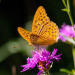 Pastvina u Milovic čítá 42 procent českých motýlů