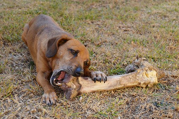 pes kouše kost