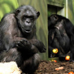 Novinky v zoo: orlosup, šimpanzi či margay