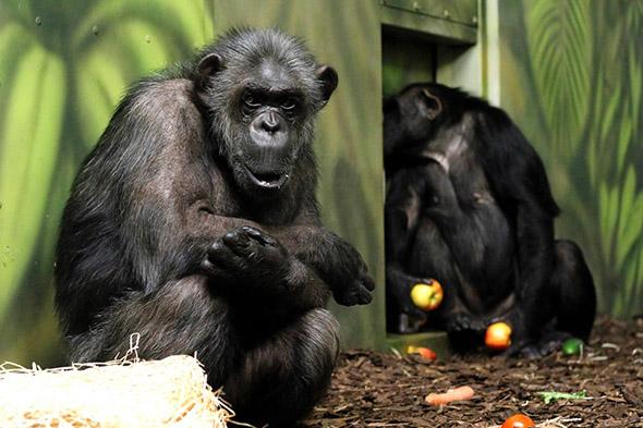 šimpanzi zoo Dvůr Králové